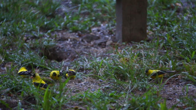 Group of Goldfinches Pecking in the Grass video