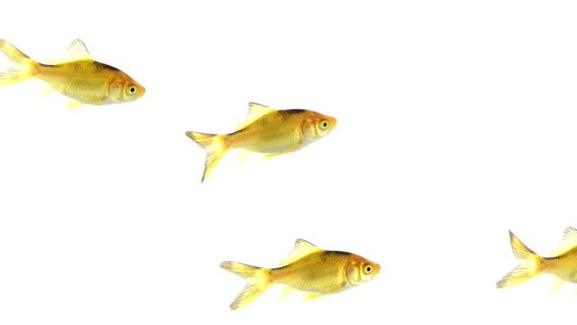 Group of goldfish swimming video