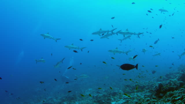 A group of Gray Reef Sharks, Carcharhinus amblyrhynchos, swim in the clear, blue waters, divers behind the sharks, Maldives