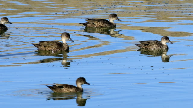 Group of Grey Teal, Anas gracilis, relaxing video