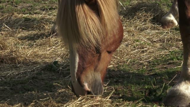 group of horses eating hay. horses eating hay on the farm. - grzywa filmów i materiałów b-roll