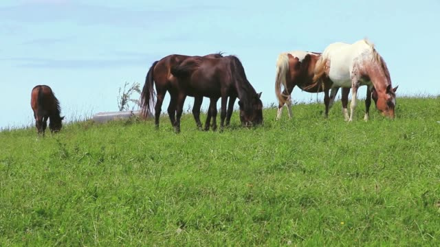 group of horses in the meadow .basque country.france - criniera video stock e b–roll