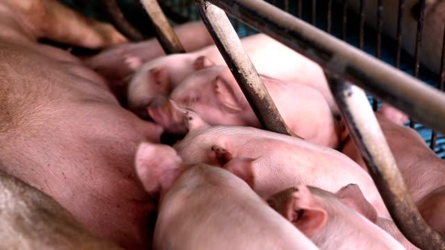 aç domuz yavruları anne sütü almak için mücadele grup - meme hayvan vücudu bölümleri stok videoları ve detay görüntü çekimi