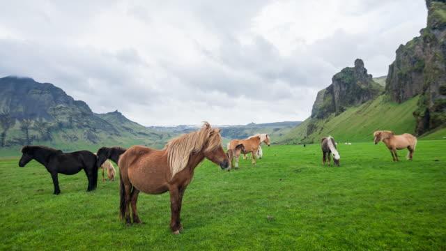 vídeos de stock, filmes e b-roll de grupo de islandês cavalos selvagens pastando em um pasto verde na islândia - sem cultivo