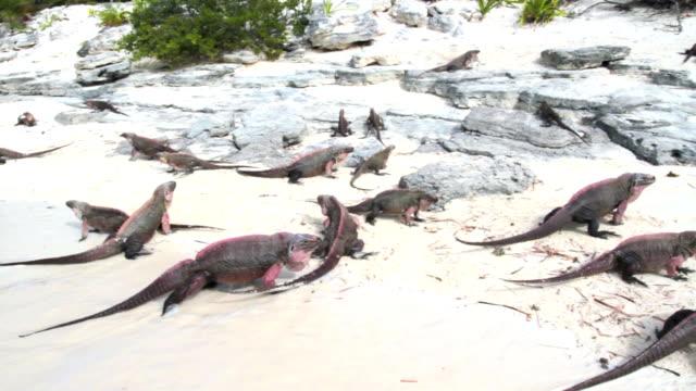 Group of iguanas on the beach - Bahamas video