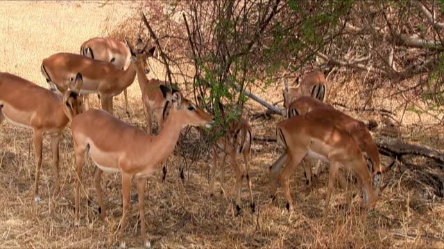 gruppe von impala im tarangire-nationalpark, tansania - afrikanische steppe dürre stock-videos und b-roll-filmmaterial