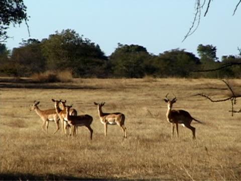 gruppe von impalas - großwild stock-videos und b-roll-filmmaterial