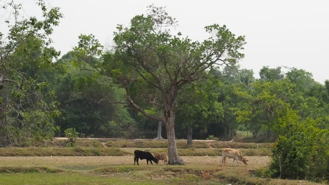 A Group of Indigenous Cows / Cattle Are Eating Grass under A Big Tree.