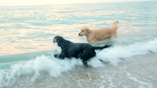 Group of labradors swimming and having fun in the sea at the sunset video