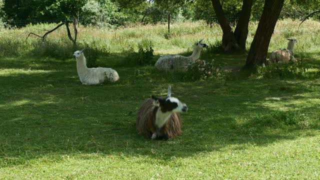 Group of lamas grazing on field in summer.