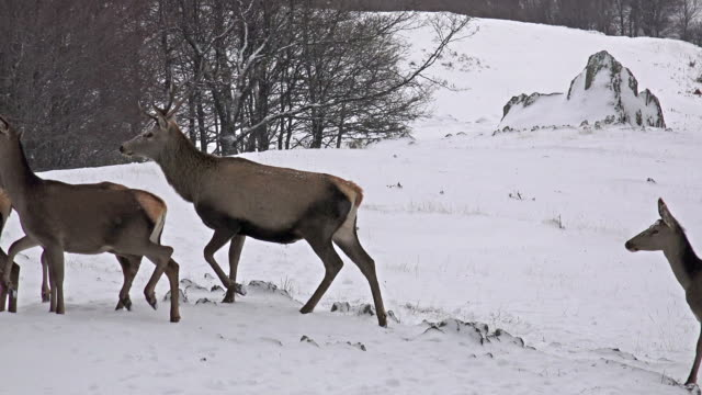 Group of Large whitetailed deer buck in an snow open meadow, uhd stock video video