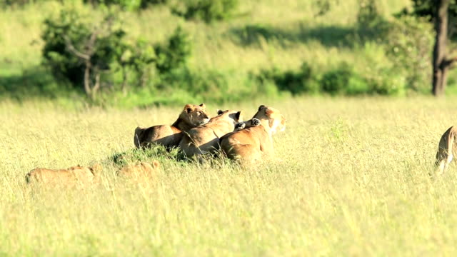 Group of Lioness with babies under the sunlight video