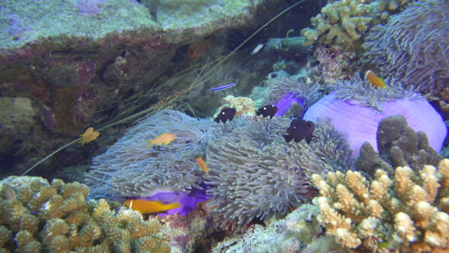 group of Lobsters behind anemone and clown fish