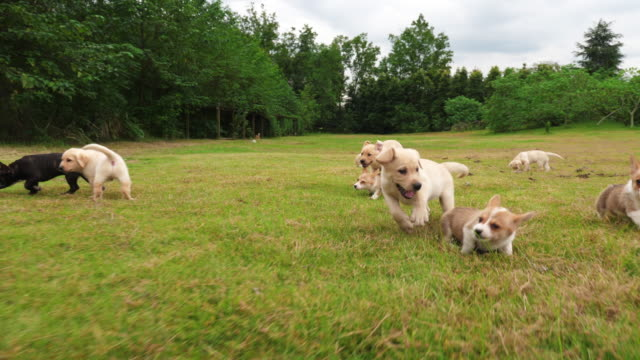 Group of lovely puppy playing outdoor,4k Group of adorable puppy Welsh Corgi and Labrador playing on the grass outdoor in the Park , running to the camera, lovely little dogs outdoor,   4k slow motion, puppy stock videos & royalty-free footage