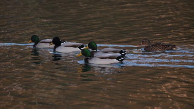 stockvideo's en b-roll-footage met groep wilde eenden, anas platyrhynchos. troep van vogels die op een meer zwemmen - video's van beauty