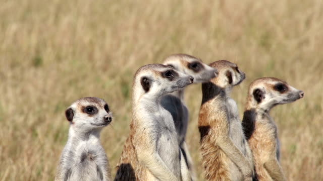 Group of meerkats standing up alert and looking for predators Group of meerkats standing up alert and looking for predators,Botswana group of animals stock videos & royalty-free footage