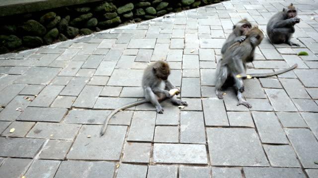 en grupp apor sitter och äter på en bana i uluwatu monekey skog - djurfamilj bildbanksvideor och videomaterial från bakom kulisserna