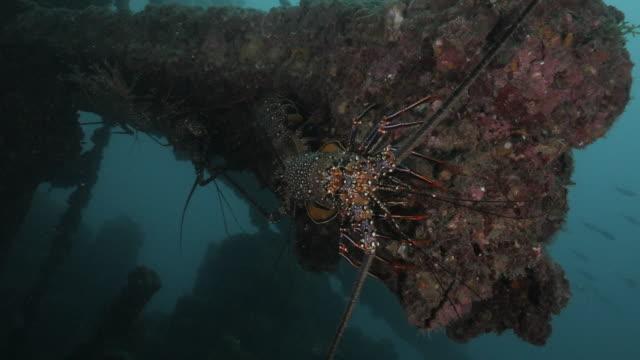 Group of Ogasawara Spiny Lobster (Panulirus brunneiflagellum) at undersea ship wreck in Japan