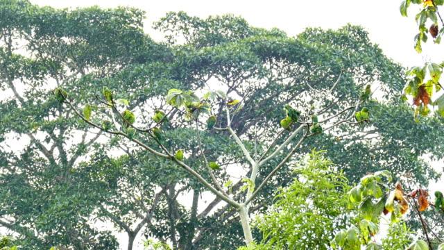 Group of Orange-Chinned Parakeet (Brotogeris Jugularis) grooming in pairs video