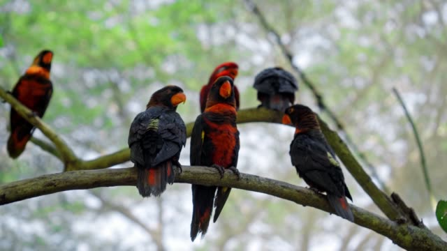 Group of parrots lory with blue and black feathers seated on a tree branch