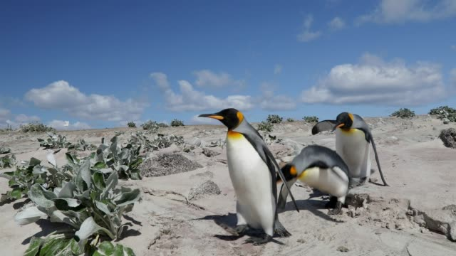 group of penguins walking on a sandy beach - pingwin filmów i materiałów b-roll
