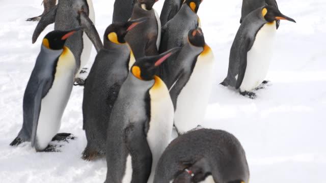 group of penguins walking - pingwin filmów i materiałów b-roll