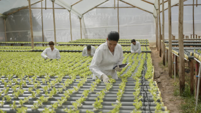 vídeos de stock e filmes b-roll de group of people supervising a hydroponic lettuce crop, woman in front also using a tablet - colher atividade agrícola