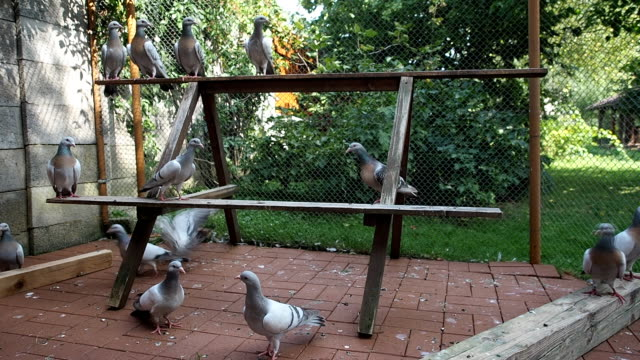 Group of pigeons in aviary video