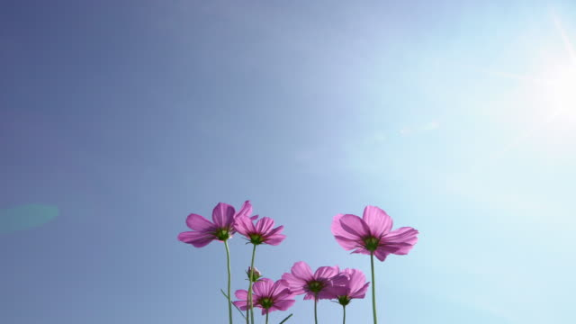 Group of Pink Cosmos flower in the blue sky sunny day video