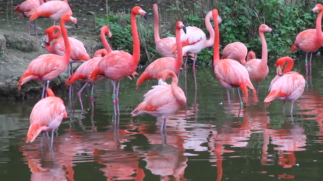 Group of Pink Flamingos video
