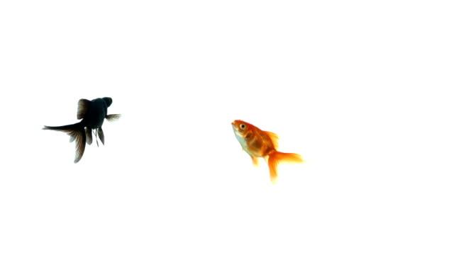 group of playful goldfish on white background - iktyologi bildbanksvideor och videomaterial från bakom kulisserna