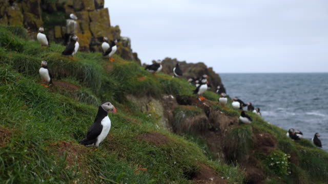 Group of puffins on the rock cliff. Iceland