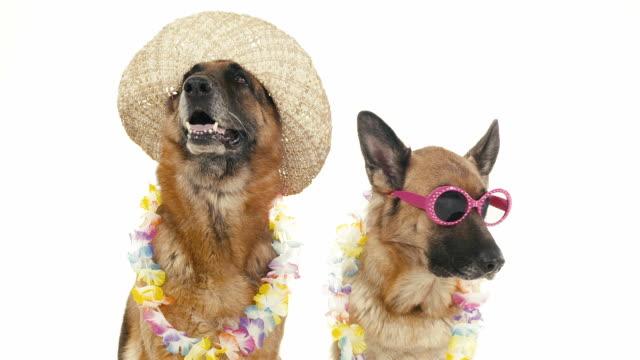 vidéos et rushes de groupe de chiens de race alsacienne sur fond blanc, les animaux de compagnie - chapeau