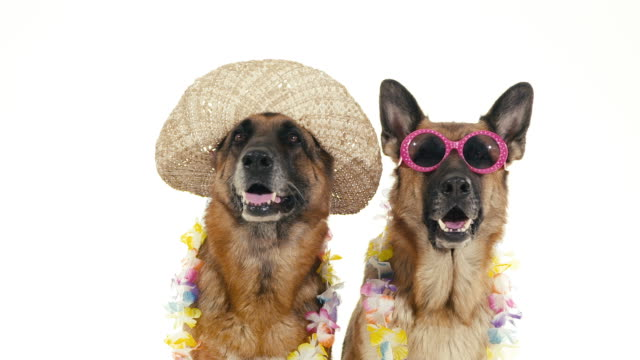 Group of purebred alsatian dogs on white background, pets Pets, animals and behavior, two funny pedigreed german shepherd dogs with hat and sunglasses. Studio shot, white background. Part 9 of 14. purebred dog stock videos & royalty-free footage