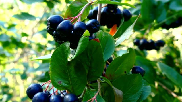 茎にぶら下がっている紫色の果実のグループ ビデオ