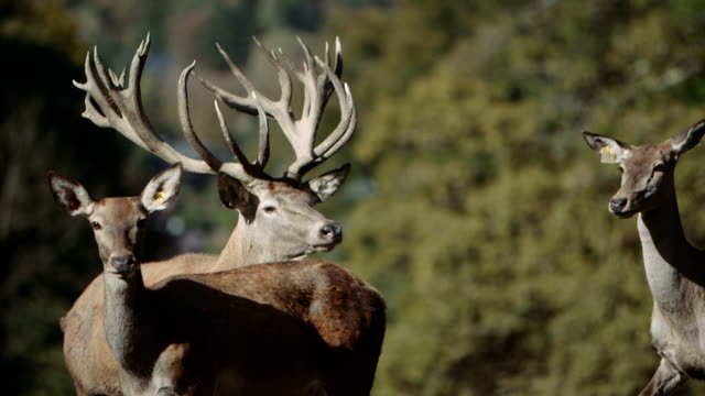 group of red deer (hart) - slow motion video
