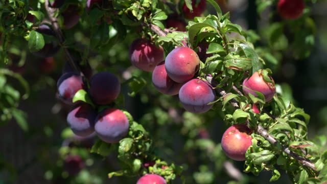 Group of red illness plums on the branch. Group of red illness plums on the branch. plum stock videos & royalty-free footage