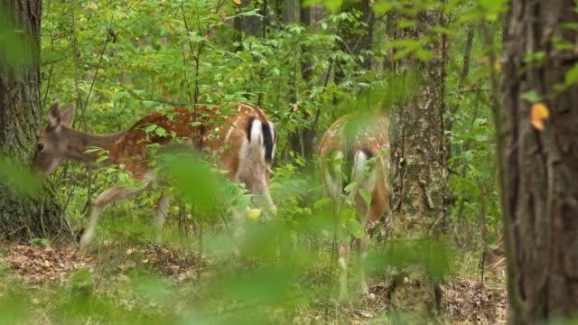 grupa ikry w lesie - jelonek filmów i materiałów b-roll