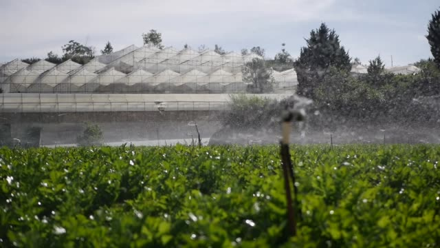 Group of rotating sprinkler spraying water in celery field. Agricultural irrigation system. Splashing droplet at plantation