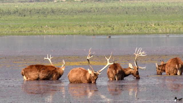 A group of Sambar deer foraging and feeding on algae