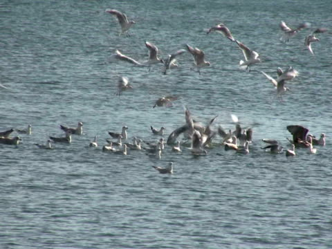 Group of Sea Gull in the water [url=http://www.istockphoto.com/file_search.php?action=file&lightboxID=7480545] [IMG]http://i1082.photobucket.com/albums/j366/danielecarrer/BarcelonaRT_zps9fa05289.jpg[/IMG][/url][url=http://www.istockphoto.com/file_search.php?action=file&lightboxID=7480530] [IMG]http://i1082.photobucket.com/albums/j366/danielecarrer/BarcelonaTL_zps3505c071.jpg[/IMG][/url][url=http://www.istockphoto.com/file_search.php?action=file&lightboxID=7477040] [IMG]http://i1082.photobucket.com/albums/j366/danielecarrer/ParisRT_zpsbd4fa025.jpg[/IMG][/url][url=http://www.istockphoto.com/file_search.php?action=file&lightboxID=12124544] [IMG]http://i1082.photobucket.com/albums/j366/danielecarrer/LondonRT_zpsa37914cc.jpg[/IMG][/url][url=http://www.istockphoto.com/file_search.php?action=file&lightboxID=7420853] [IMG]http://i1082.photobucket.com/albums/j366/danielecarrer/RomeRT_zps0d0d125f.jpg[/IMG][/url][url=http://www.istockphoto.com/file_search.php?action=file&lightboxID=12730793] [IMG]http://i1082.photobucket.com/albums/j366/danielecarrer/FrankfurtRT_zpsfdba1e9f.jpg[/IMG][/url] water bird stock videos & royalty-free footage