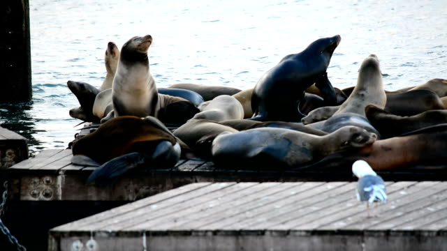Group of sea lions on a wooden pier in San Francisco, California video