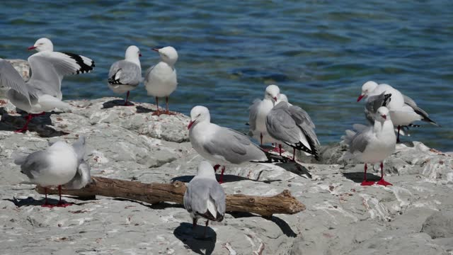 Group of seagull on the rock at Kaikoura Beach, South Island