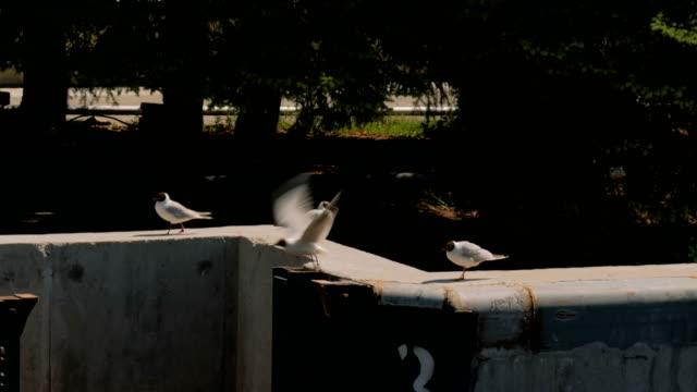 Group of seagulls walks on concrete pier video