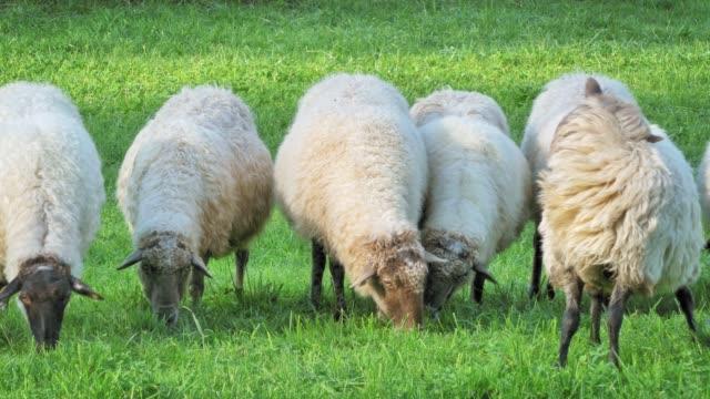 Group of sheep grazing at a rural farm, Spain