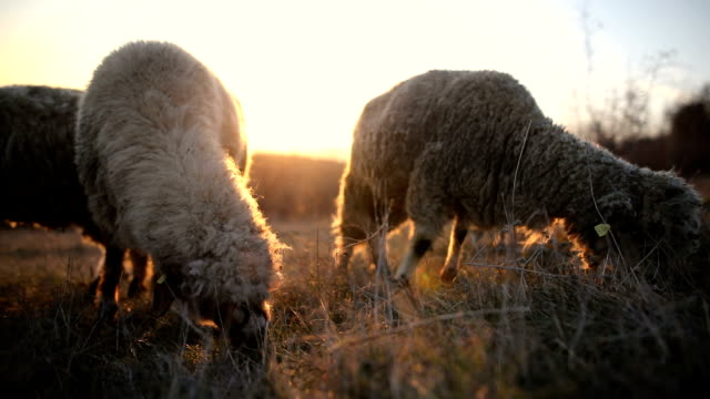 Group of sheep s grazing on the mountain in the dusk