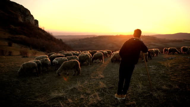 group of sheep s with teenager shepherd, grazing on the mountain in the dusk - mandriano video stock e b–roll