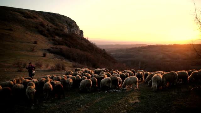 vidéos et rushes de groupe de moutons s avec le berger de femme bravant sur la montagne dans le crépuscule - mouton