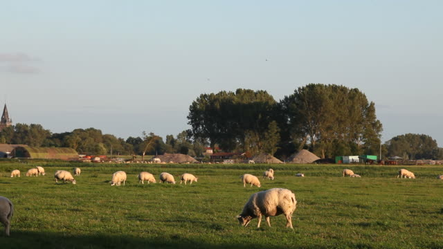 Group Of Sheeps Herding In Meadow Near Amsterdam, The Netherlands video