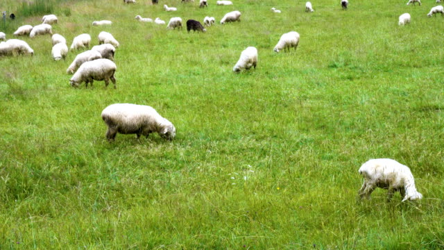 group of sheeps on a green field - sheep stock videos and b-roll footage